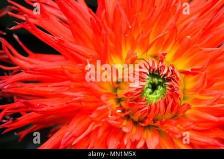 Orange, yellow and red flame dahlia flower with green center close up macro photo. Picture in color emphasizing the bright reddish colors with dark ba - Stock Photo