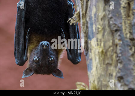 Lyle's flying fox (Pteropus lylei) native to Cambodia, Thailand and Vietnam, male hanging upside down from hind feet in tree - Stock Photo