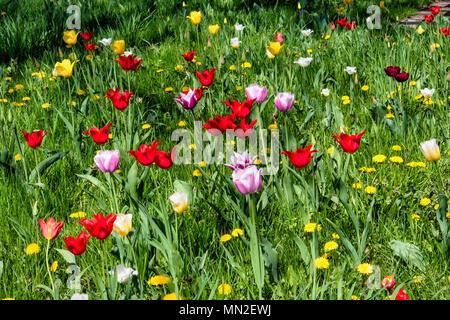 Britzer Garten, Neukölln, Berlin, Germany. 2018. Garden with spring flowering bulbs, Yellow, red & pink tulips and yellow dandelions in green grass.   - Stock Photo