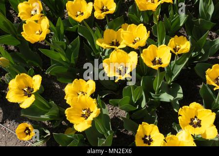 Britzer Garten, Neukölln, Berlin, Germany. 2018. Garden with spring flowering bulbs, Yellow tulips with frilly petals & black centre.                  - Stock Photo