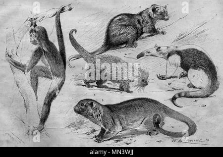 South american tench-tailed monkeys. Vintage illustration. (1900)  1 Spider monkey 2 Common opossum 3 Brazilian Porcupi 4 Collared anteater 5 Kinkajou - Stock Photo