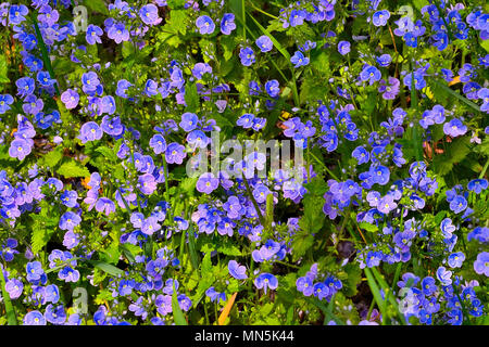 Beautiful blue forget-me-not flowers (Myosotis arvensis) on a spring sunny meadow - healing and melliferous plant - Stock Photo