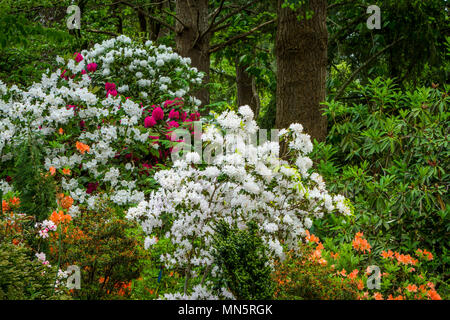 Hendricks Park, Rhododendron Gardens in Eugene, Oregon, USA. - Stock Photo
