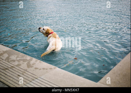 Larbrador takes a dip in a reflection pool at the Scottish Parliament to cool off on a hot day in Edinburgh. - Stock Photo