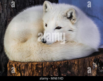 Arctic fox (Vulpes lagopus) resting on a trunk and looking to the left - Stock Photo