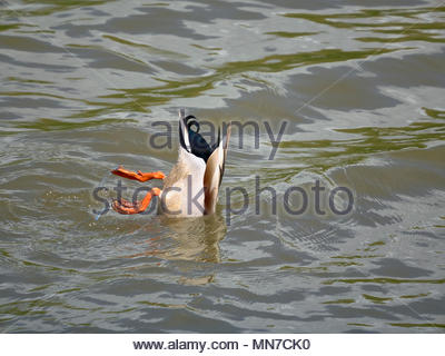 A male mallard duck anas platyrhynchos up ended in the water feeding in the uk - Stock Photo