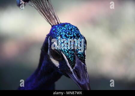 Indian Peacock (Pavo Cristatus) - Stock Photo