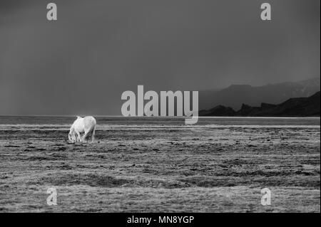 White Iceland pony in front of mountainside and arising bad weather - Stock Photo