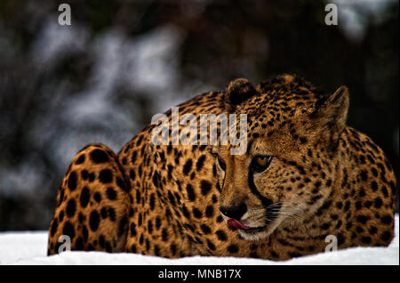 Cheetah in the snow. - Stock Photo