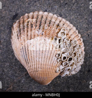 A close up of a mollusk shell placed on a rock in a studio image. - Stock Photo