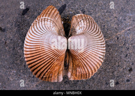 A close up of the details in this seashell on a rock. - Stock Photo