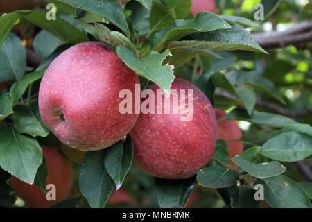two apples in a tree hanging from a branch. Outside apple orchard. Food grown from nature. Sweet fruit centered double connection. Red Delicious - Stock Photo