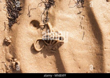 Lug Worm <Arenicola marina>, - Stock Photo