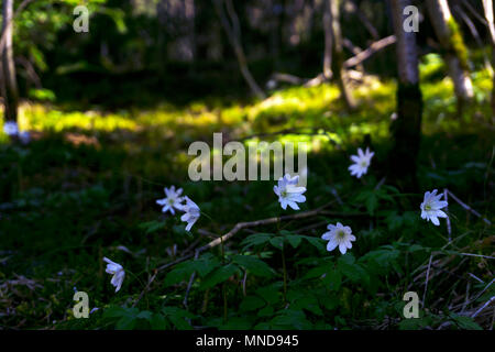 white flowers snowdrops in a dark forest thicket on a sunny spring day, taken from the ground level - Stock Photo