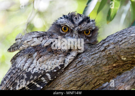 A Tawny Frogmouth (Podargus strigoides) a native of Australia, sitting on a tree branch in Queensland, Australia.   The Tawny Frogmouth is difficult t - Stock Photo