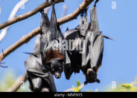 flying fox fruit bat - Stock Photo