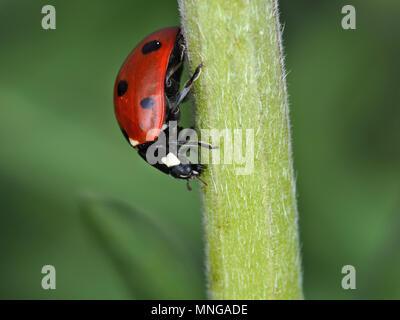 Coccinella septempunctata, the seven-spot ladybird, on a green plant stem - Stock Photo