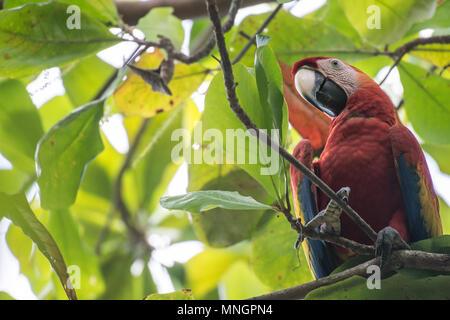 Scarlet Macaw, Ara macao, Psitaccidae, Corcovado National Park, Osa Peninsula, Costa Rica, Centroamerica - Stock Photo