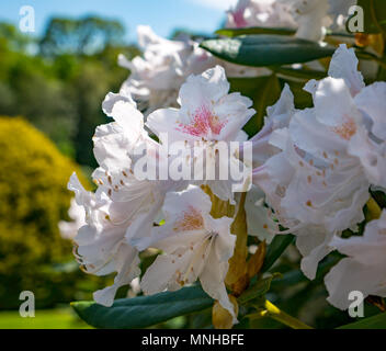 Heriot Watt University campus, Edinburgh, Scotland, United Kingdom, 17th May 2018. A pretty pink rhododendron bush in flower in the sunken garden on Riccarton Estate of the campus - Stock Photo