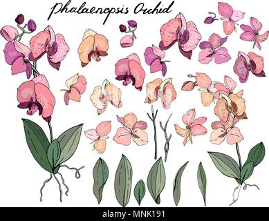 Isolated orchid phalaenopsis on white. - Stock Photo