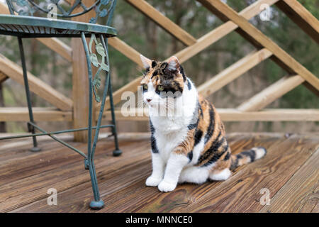 Calico cat sitting on wooden deck looking on terrace, patio, outdoor garden house on floor by metal chair - Stock Photo