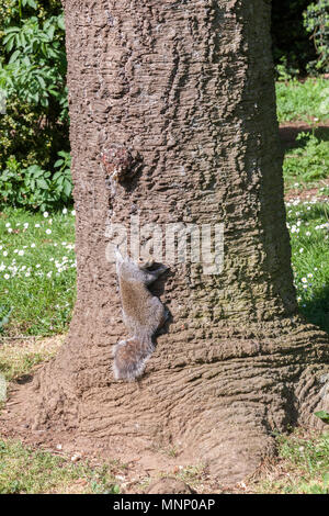 Grey Squirrel. Sciurus carolinensis (Rodentia), on a tree trunk warming up in the sunshine, Abington Park, Northampton, UK - Stock Photo