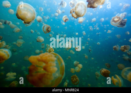 Underwater photo of endemic golden jellyfish in lake at Palau. Snorkeling in Jellyfish Lake is a popular activity for tourists to Palau. - Stock Photo