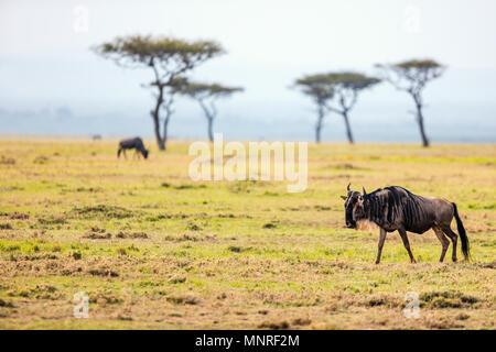 Wildebeests in Masai Mara National park in Kenya - Stock Photo