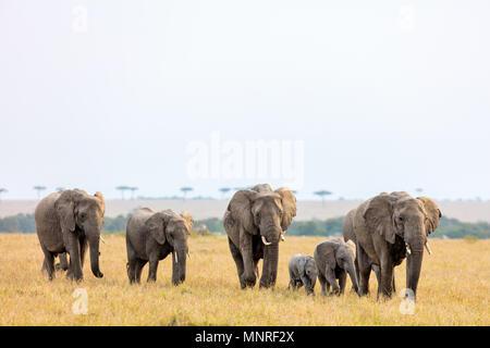 Elephants in safari park in Kenya Africa - Stock Photo