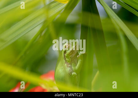 european green tree frog, Hyla arborea, resting by day, croaking by night in the wild in a cyprus garden. - Stock Photo