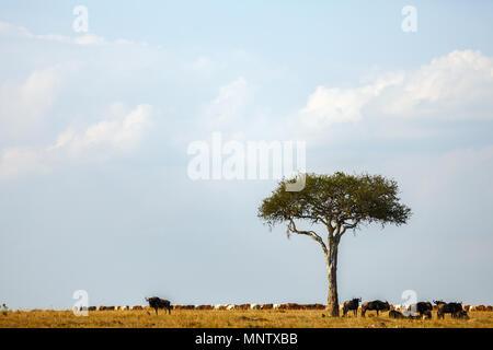 Wildebeests under acacia tree in Masai Mara Kenya - Stock Photo