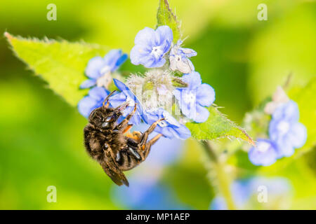 Honey bee collecting nectar from forget me not flowers on british meadow in spring.Stunning wildlife uk.Natural world conservation.Nature Uk. - Stock Photo