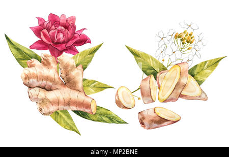 Hand Drawn Ginger and Horseradish watercolor sketch. Illustration For Food Design. - Stock Photo