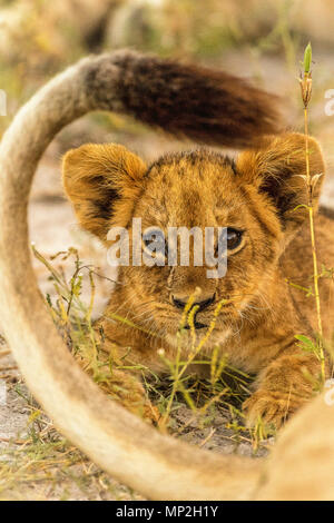 Lion cub lying within mothers tail in okavango delta - Stock Photo