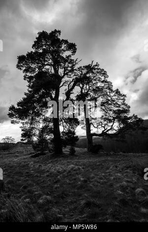 Black & White image of silhouetted pine trees on the slops of Craig Meagaidh (Craig Meggy) in the Highlands of Scotland. - Stock Photo