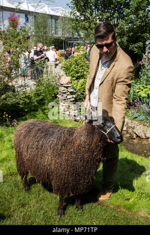 London, UK. 21 May 2018. Black Wensleydale sheep at The Welcome to Yorkshire show garden. Press Day at the 2018 RHS Chelsea Flower Show which opens to the public on tomorrow. Photo: Bettina Strenske/Alamy Live News - Stock Photo