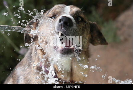 A shepherd Dog plays with a water jet from a hose during a high temperature spring season day in the Spanish mediterranean island of Mallorca - Stock Photo