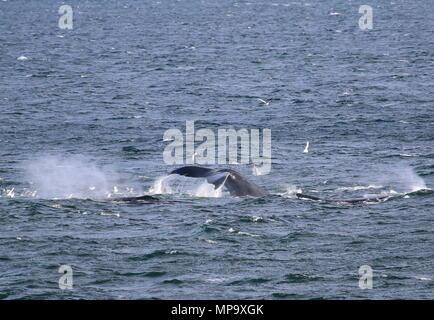 Humpback whales feeding - Stock Photo