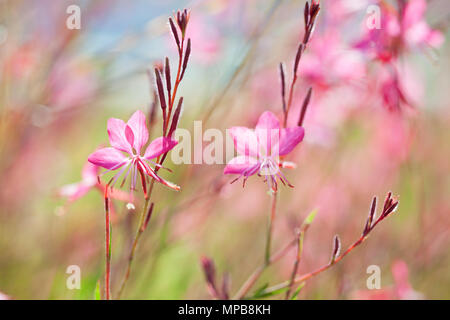 Close-up of beautiful small pink flowers ( Siskiyou Pink Gaura)  in the sunlight at  summer  morning.   Painterly colorful artistic image with  soft f - Stock Photo