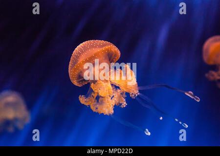 Beautiful jellyfish Phyllorhiza punctata - Stock Photo