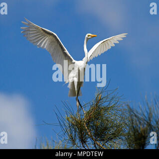 Australian Intermediate egret, Ardea intermedia, in non-breeding plumage dancing on treetop with wings outstretched against blue sky in urban area - Stock Photo