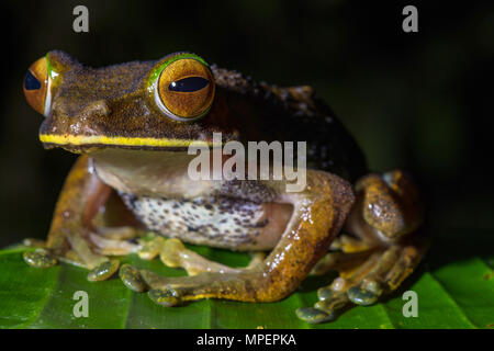 Tree climbing frog species (Boophis albilabris), male sitting on leaf, Andasibe National Park, Madagascar - Stock Photo