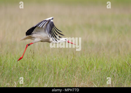 White Stork (Ciconia ciconia) flying over a meadow in spring in the nature protection area Mönchbruch near Frankfurt, Germany. - Stock Photo