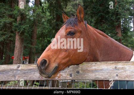 Portrait of a brown horse with black mane, head over a wooden fence looking to viewers left. - Stock Photo