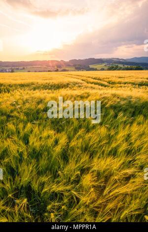 Austria, Upper Austria, Muehlviertel, grain field at evening twilight - Stock Photo