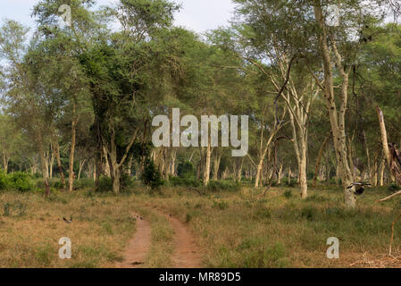 Fever Tree Forest in The Makuleke Contract Park, Northern Kruger, South Africa - Stock Photo