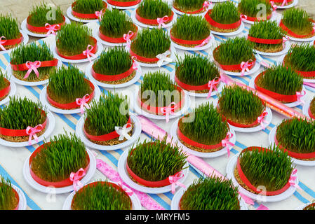 Greenery Sabze for Haft-Seen. Traditional spring symbol Novruz semeni fresh green wheat grass on bazaar in Astara. Gilan Province, Iran - Stock Photo