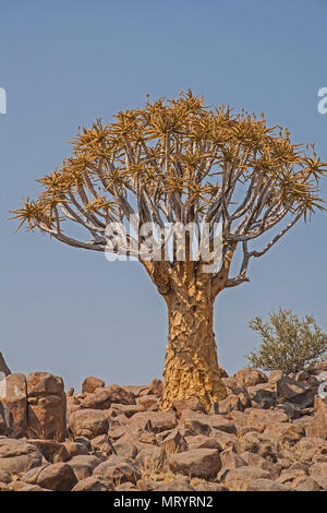Aloidendron dichotomum, the Quiver Tree. in Soutern Namibia 7 - Stock Photo