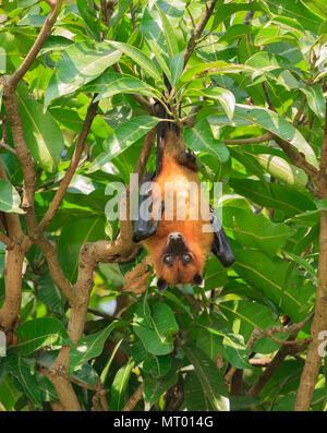 Indian Fruit Bat (Indian Flying Fox) - Photographed at Ranganathittu (Karnataka) - Stock Photo