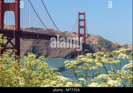 Golden Gate Bridge, with the blooming cow parsnip flowers (Heracleum lanatum), in spring, San Francisco, California, United States. - Stock Photo